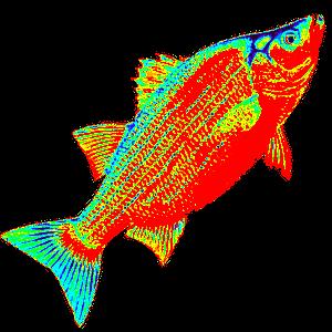 Lake Texoma Catfish Guides, Lake Texoma White Bass Fishing
